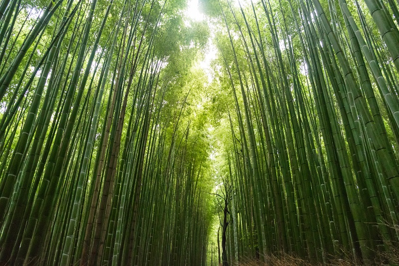 Bamboo forest Kyoto prefecture